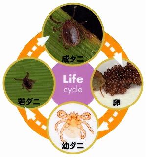 マダニのライフサイクル
